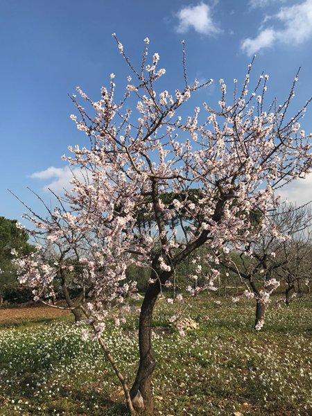"""Allarme di Coldiretti, """"Paesaggio primaverile in Puglia: mandorle in fiore e gemme di albicocche e pesche già schiudono"""""""