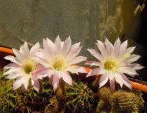 Cactus in fiore_Metafora di bellezza ed armonia che emergono da un contesto di spine_Convento dei Cappuccini in Mesagne