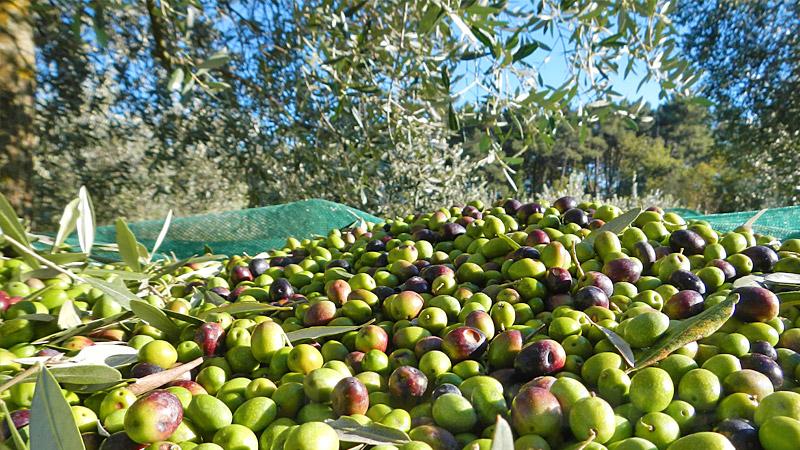 Mesagne: sorpreso a rubare le olive, arrestato.