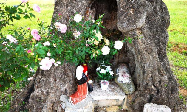 Santuario della Grazia: trafugata statuina della Vergine nell'albero di ulivo